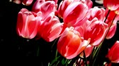 garden flowers : Tranquil Slowly Swaying Pink Tulips