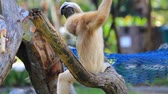 indonesia : White Cheeked Gibbon or Lar Gibbon in Thailand, Stock Footage