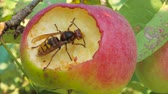 насекомые : Wasp eating an apple Стоковые видеозаписи