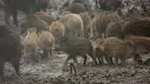 piglets : Family of wild pigs feeding in the rain Stock Footage