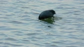 rallidae : Eurasian coot (fulica atra) on the river Stock Footage