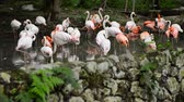 vermelho : group of Flamingos gracefully sun-bathing in man -made pond