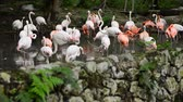 flaming : group of Flamingos gracefully sun-bathing in man -made pond