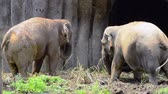 durva : A pair of african elephant feeding in the zoo Stock mozgókép