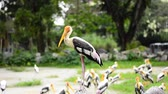 lakken : Big Painted Stork Bird(Mycteria leucocephala) standing on the rock over green leaves background at zoo Stockvideo