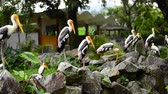 farba : Big Painted Stork Bird(Mycteria leucocephala) standing on the rock over green leaves background at zoo Wideo