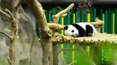 bear habitat : giant panda in the zoo sleeping on wooden benches Stock Footage