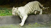 myśliwy : close-up and selective focus, white tiger in the zoo