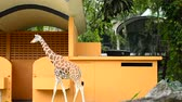 背の高い : Giraffe (Giraffa camelopardalis) standing in the open-air cage zoo