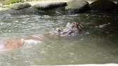 suaygırı : A Pair of Hippopotamus playing sparring in the pond