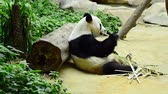 véd : lovely giant panda in the zoo eating bamboo