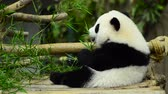 панда : lovely giant panda in the zoo eating bamboo