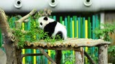 raro : lovely giant panda in the zoo eating bamboo