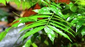 kamperen : closeup footage, rain droplets to a leaves in a tropical rain forest Stockvideo