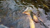 fins : variety of Koi fish and carp in river Stock Footage