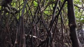 Timelapse footage, tropical virgin mangrove forest near the seashore