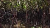 kök : Timelapse footage, tropical virgin mangrove forest near the seashore
