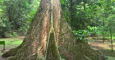életmód : Video footage of a big and high tree in the green tropical forest, shot in 4K resolution