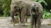 young : Video footage of a cute elephant showing his mouth at the zoo. Elephants are large mammals of the family Elephantidae and the order Proboscidea.