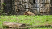 assassino : Video footage of a big brown bear at the zoo. Bears are carnivoran mammals of the family Ursidae. Vídeos