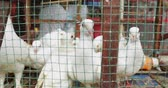 duch : Closeup of dove birds in a small cage on sale in the market. Shot in 4k resolution