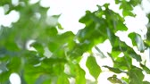 botanický : Video footage of green leaves and branches with selective focus. Shot outdoors during summer time