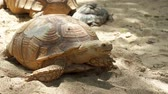 zoo : Aldabra Tortoise crawling on the sand at Batu Screet Zoo, Malang - East Java, Indonesia. Shot in 4k resolution Stock Footage