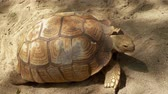 tartaruga : Aldabra Tortoise on the sand at Batu Screet Zoo, Malang - East Java, Indonesia. Shot in 4k resolution Stock Footage