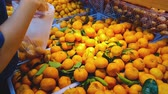 мандарин : Closeup of female hand pick up and choosing orange fruit in the market.