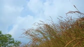 kamış : Dry grass flower or reeds blown by wind with clear sky background. Shot in 4k resolution Stok Video