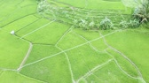 Beautiful aerial landscape of lush tropical paddy field with green color. Shot in 4k resolution from a drone flying forwards