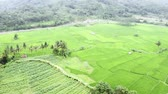 Stunning aerial landscape of green rice field with river and tropical hill background. Shot in 4k resolution from a drone flying forwards Stok Video