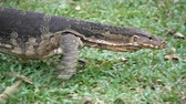 salvator : Dangerous lizard predator wild striped varan, varanus salvator, on grass in national park Stock Footage