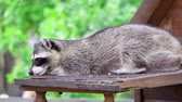 bandido : One cute furry raccoon playing in wooden house. Funny adorable curious little racoon. Green trees on background