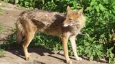 cheirando : Hungry wild golden jackal sniffing bushes in forest. Canis aureus golden wolf hunting in national park Vídeos