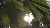 lumpini : Sunset in asian park. Sun shining through big green leaves of palm trees. Gentle breeze swinging palm leaves in Lumpini park, Bangkok, Thailand