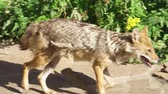 плотоядный : Hungry wild golden jackal running in green forest. Canis aureus golden wolf hunting in national park