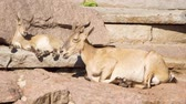 wildness : Cute little goatling and mother goat with big horns laying on rocks in mountains. Wild goat family relaxing outdoors Stock Footage