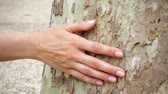 tactile : Woman sliding hand along big old sycamore in slow motion. Female hand touching green crust surface of platan tree trunk