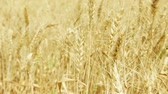 Spikelets of yellow ripe wheat on golden field during day. Spikes of organic rye swaying in wind in slow motion. Harvest season in Larnaca, Cyprus