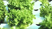 alface : Hydroponics method of growing plants using mineral nutrient solutions, in water, without soil.