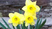 narcissus : Three flower daffodils in spring outdoors
