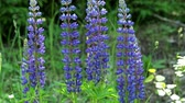 lupine : Blue lupines flowering in the meadow Stock Footage