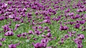 kapszula : Purple poppy blossoms in a field. (Papaver somniferum). Poppies, agricultural crop. Stock mozgókép