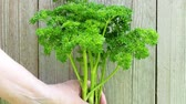 maydanoz : Healthy herbs. Human hand holding fresh parsley from the garden. (Petroselinum crispum).