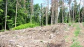 ствол : Road through dead trees. European spruce bark attacked trees in the forest.