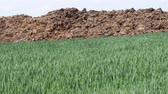 fertilizer field : Fresh manure heap at the edge of a rye field. Spring agriculture.