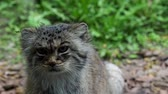 chat sauvage : Portrait de beau chat (Otocolobus manul)
