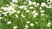 medycyna : Matricaria chamomilla on wildflower meadow. Field of Camomile (Matricaria recutita). Wideo