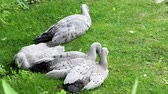gansos : Cape Barren Goose or Cereopsis novaehollandiae sitting on grass